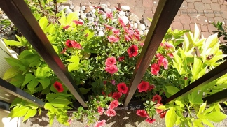 superbells® pomegranate punch petunias mixed with sweet caroline light green potato vine. 2016