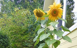 happy-sad sunflowers grace the south yard. 2016