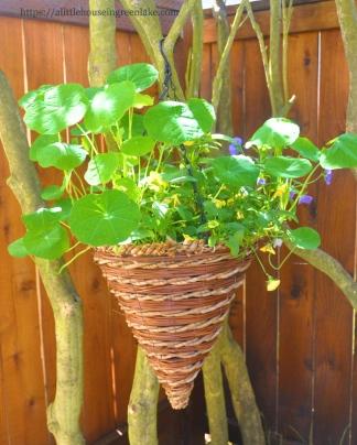 nasturtium in a cone hanging basket. 2012